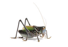 Grasshopper - Gampsocleis gratiosa Royalty Free Stock Photography