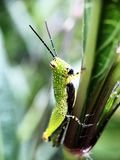 Grasshopper get caught in the garden. A grasshopper try to hide him or herself from all eyes by conceal itself in the garden, Thailand royalty free stock image