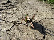Grasshopper, going on a long journey. Royalty Free Stock Images