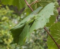 Grasshopper on grape leaf Stock Photography