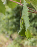 Grasshopper on grape leaf Royalty Free Stock Photos