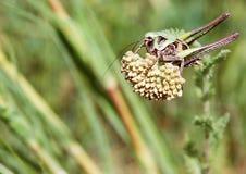 Grasshopper on grass. Green cute grasshopper on grass royalty free stock photos
