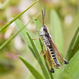 Grasshopper in grass Royalty Free Stock Image