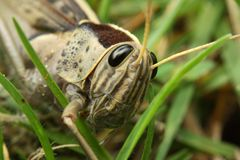 Grasshopper on grass Royalty Free Stock Photo