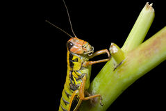Grasshopper on grass 2 Royalty Free Stock Photography
