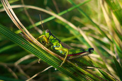 Grasshopper on grass Royalty Free Stock Images
