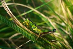 Grasshopper on grass. Green grasshopper holding on grass Royalty Free Stock Images