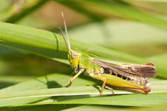 A grasshopper on the grass Royalty Free Stock Photos