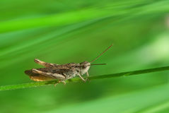 Grasshopper in the grass Royalty Free Stock Images
