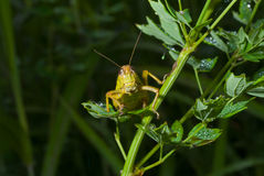 Grasshopper on grass 4 Stock Photography