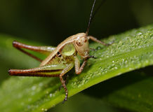 Grasshopper on the grass. Royalty Free Stock Photo