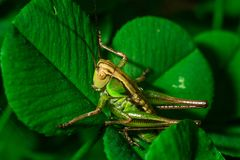 Green grasshopper sitting on the grass leaf extreme close up stock photo