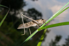 Grasshopper on grass Royalty Free Stock Photography