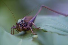 Grasshopper in the grass. Royalty Free Stock Photography