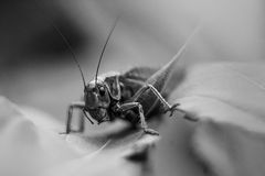 Grasshopper in the grass. Royalty Free Stock Image