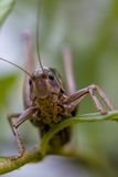 Grasshopper in the grass. Grasshoppers are a large group of insects with more than 6800 kinds. Grasshoppers are 3 family in the order Orthoptera and are Stock Photos