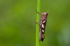 Grasshopper on grass Stock Photography