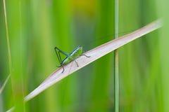 Grasshopper on grass Stock Photography