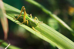 Grasshopper on the grass. Green grasshopper in the sunshine on a narrow green leaf Stock Images