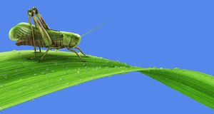 Grasshopper on the grass isolated Royalty Free Stock Photography