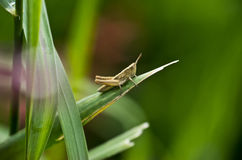 Grasshopper. In the grass with nice bokeh Stock Image