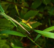 Grasshopper on a grass Royalty Free Stock Photos