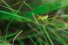 Grasshopper in the grass. Grasshopper in a grass sitting on a blade of grass Stock Photography