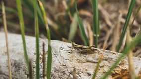 GRASSHOPPER. Standing on wood in the grass Stock Photography