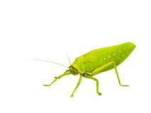 Grasshopper. Royalty Free Stock Images