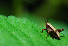 Grasshopper great view Stock Images
