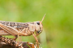 Grasshopper on green background Royalty Free Stock Image