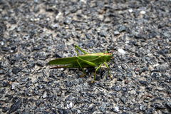 Grasshopper. A green grasshopper on the background Stock Photography