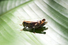 Grasshopper. On green banana leaf Royalty Free Stock Image