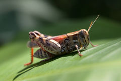 Grasshopper. On green banana leaf Royalty Free Stock Images