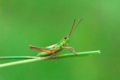 Grasshopper on the green blade of grass on a blurred background. Green grasshopper on the blade of grass on a blurred green background stock images