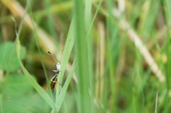 Grasshopper on a green blade of grass. Orthoptera.  Royalty Free Stock Photo