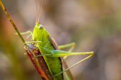 Grasshopper  2 Royalty Free Stock Photos
