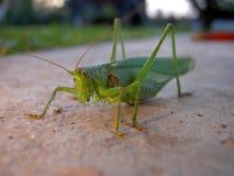 Grasshopper green on concrete royalty free stock photo