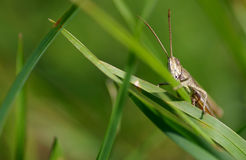 Grasshopper on the green grass Royalty Free Stock Photography