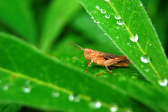 Grasshopper on green grass with dew. Background Royalty Free Stock Photos
