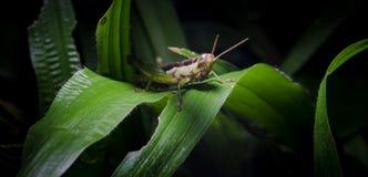 Grasshopper on green grass leaf Stock Photo