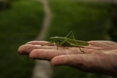 Grasshopper green on hand. Green grasshopper on hand older ladies Royalty Free Stock Images