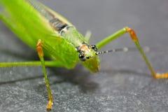 Grasshopper Green Royalty Free Stock Image