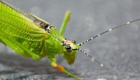 Grasshopper Green Stock Photo