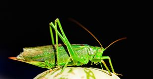 Grasshopper. Stock Photos