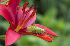 Grasshopper green (lat. Tettigonia viridissima). Powered grasshopper other insects, small butterflies. In the absence of insects, grasshopper goes vegetarian Stock Photo