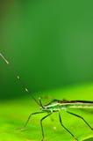 Grasshopper On green leaf. Macro of green grasshopper on leaf Stock Photo