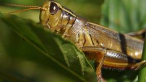 Grasshopper. On a green leaf Stock Image