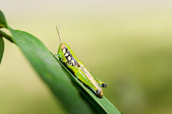 Grasshopper on green leaf. Close up of Grasshopper on green leaf Royalty Free Stock Photos
