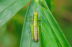 Grasshopper on green leaf. Close up of Grasshopper on green leaf Stock Image